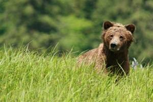 grizzly again