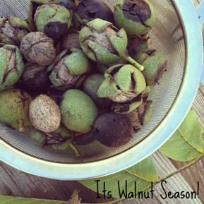 walnut-season