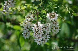 walnut-spring
