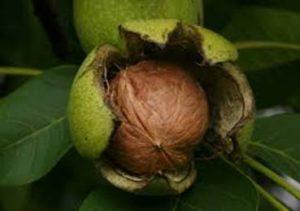 walnut-fall
