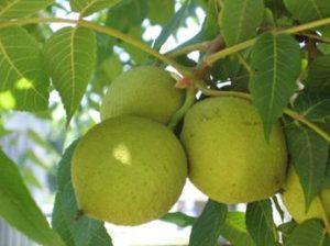 walnut-summer
